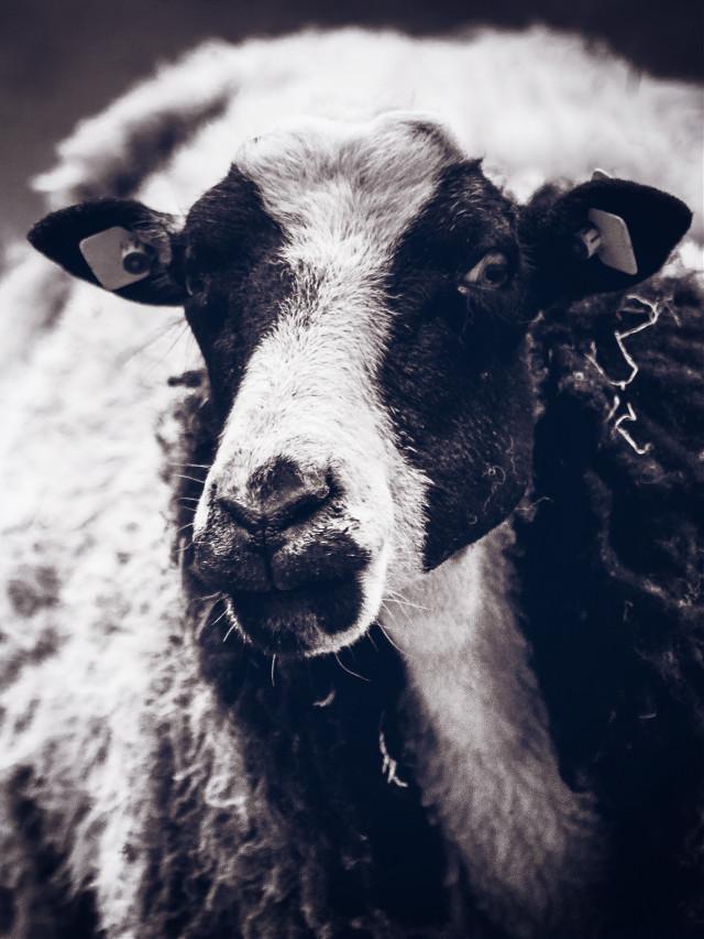 #FreeToEdit  #animals #sheep #blackandwhite #black&white #blackandwhitephotography #photography #wppanimals