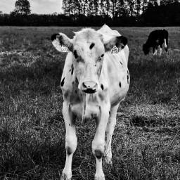 petsandanimals cow nature beauty inthemeadow