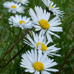photography nature flower daisy