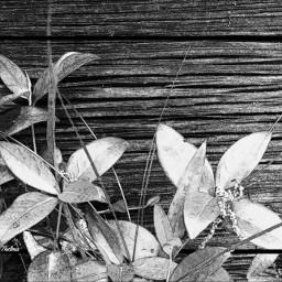 greenhouseseries nature wood weathered blackandwhite freetoedit