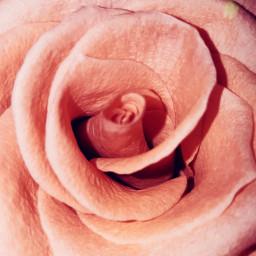 freetoedit love romantic red rose