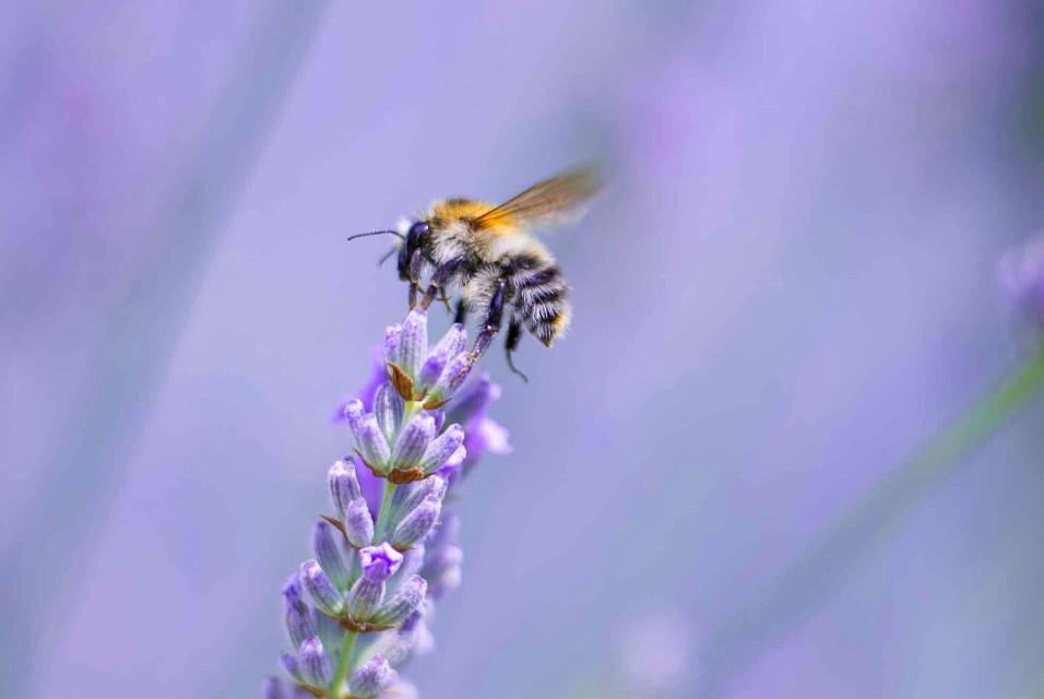 #nature #macro #biene #bees #bee #lavendel #photography #summer #beautiful #minimal #lilac #life #interesting #art