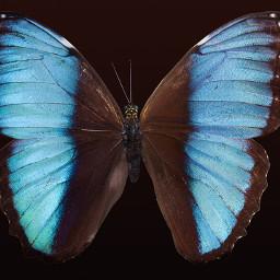 freetoedit butterfly wings blue