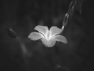 blackandwhite flower nature photography myart