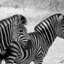 zebras southafrica krugernationalpark black wildlife