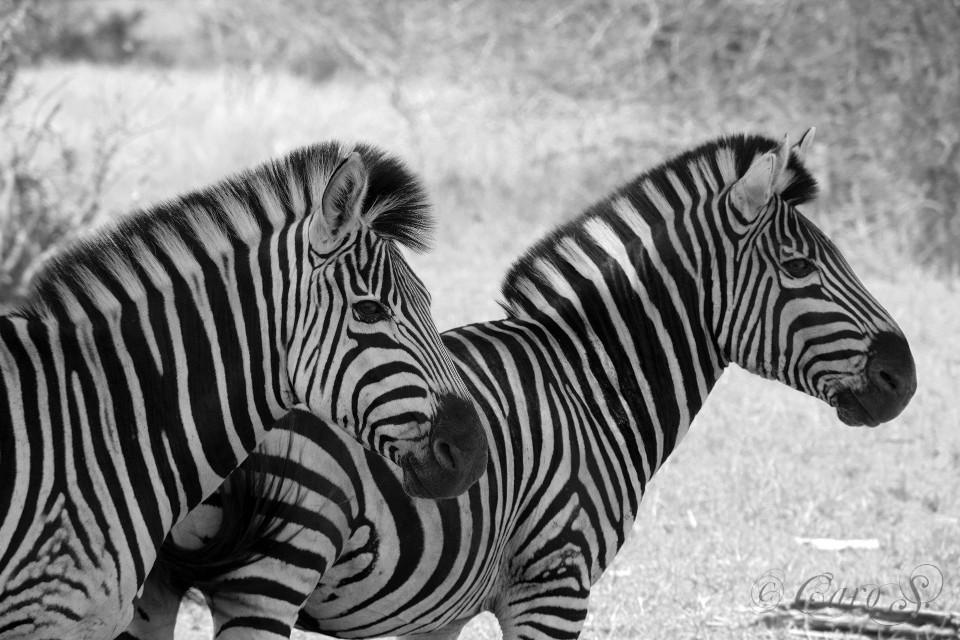 #zebras #southafrica #krugernationalpark #black&white #wildlife #animals