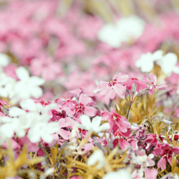wppfloralcanvas freetoedit colorful pink white