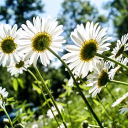 wppfloralcanvas freetoedit interesting nature daisies
