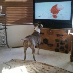 freetoedit pitbulllove pit dog watchingtv