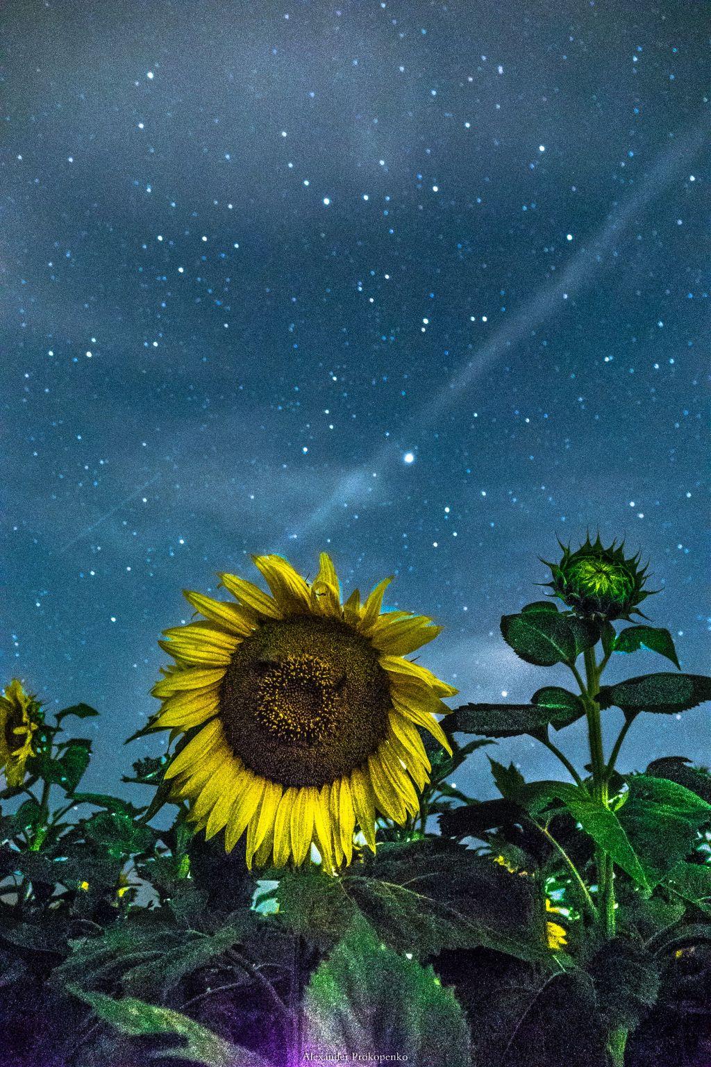 #sunflowers  #stars #longexposure  #night