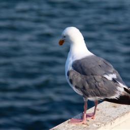 freetoedit seagull birds nature naturephotography