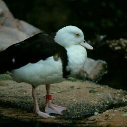 duck nature wildlife beautiful photography