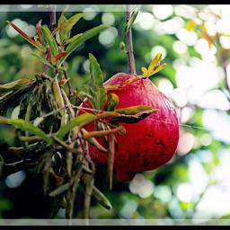 freetoedit pomegranate fruit summerfood nicepic