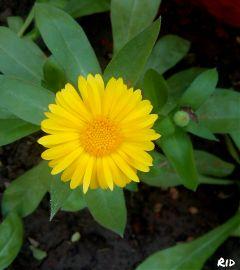flower freetoedit capture yellow
